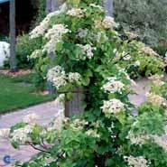 Klatre hortensia, Hydrangea Petiolaris.