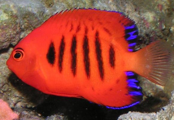Coral Beauty angelfish - sweet & fiesty!