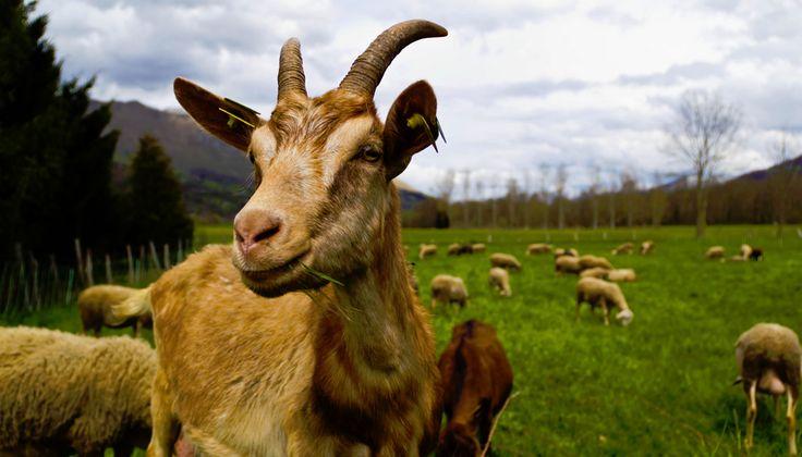 Rank odour of billy goat. An aphrodisiac. (For female goats)