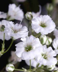 pictures of perennial- how to grow baby's breath