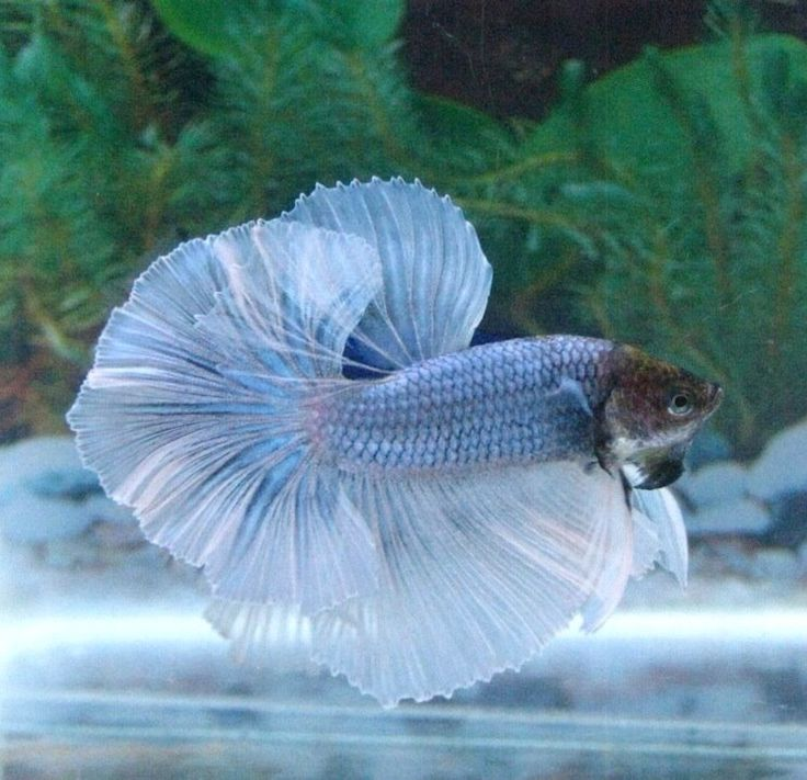 1000 ideas about small fish tanks on pinterest fresh for Fish that get along with betta