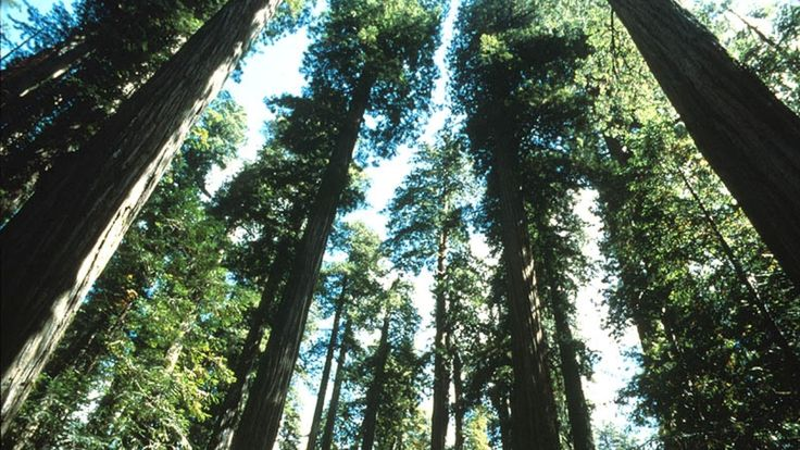 Redwood and Sequoia national parks are hundreds of miles apart, forcing most visitors on a given trip to choose - a task that's impossible for filmmaker Ken Burns.