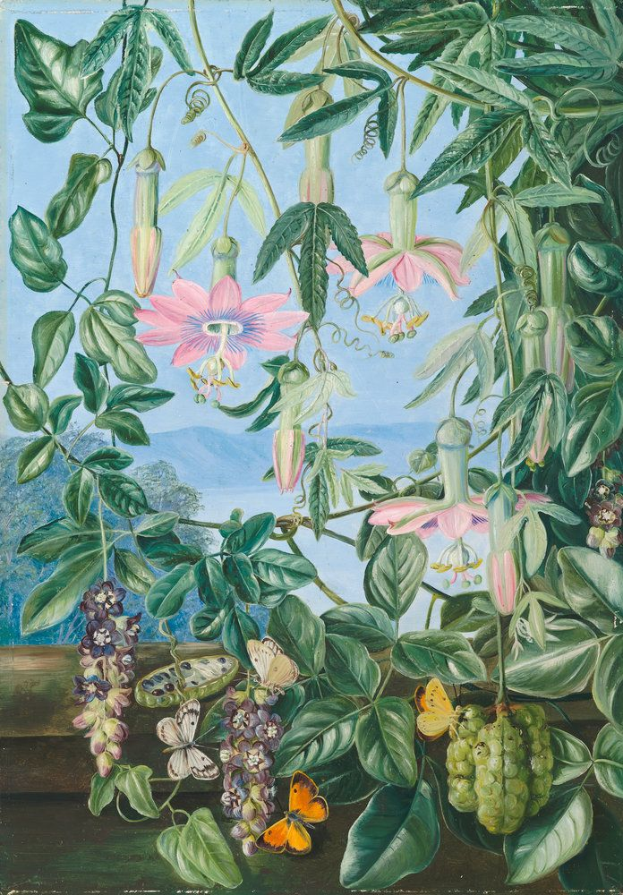 Beautiful Two Climbing Plants Of Chili And Butterflies. Botanical Print By Marianne  North