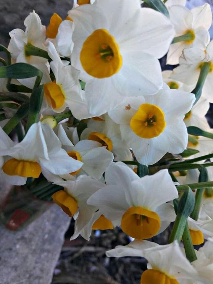 Daffodil Flowers From Syria The Land Of Beauty زهرة النرجس من الساحل السوري Narcisse