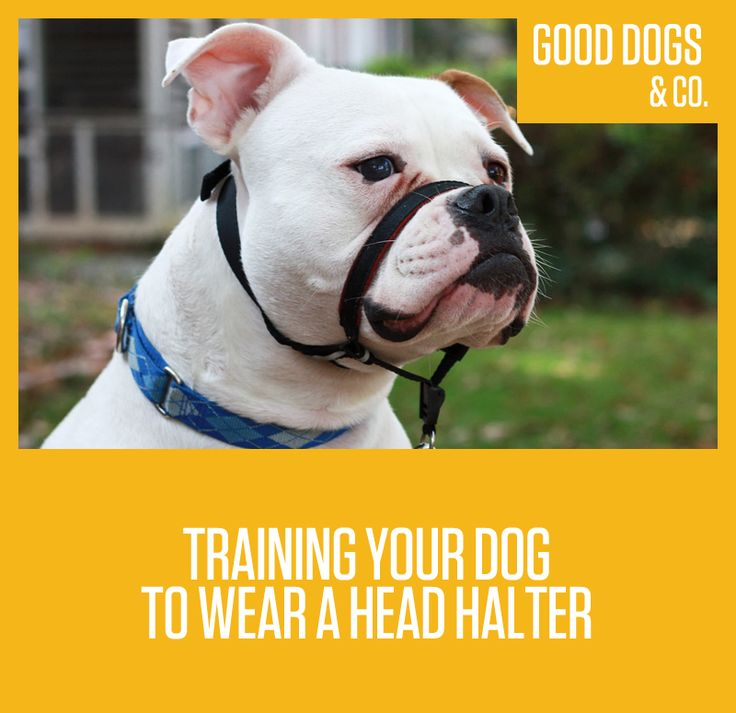 Need some help with loose leash work with your pup? Try a head halter!