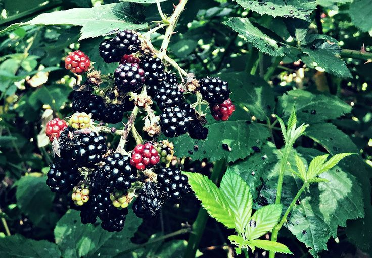 Time to go foraging for blackberries, the ultimate plant for beginning foragers with tasty berries and medicinal leaves.