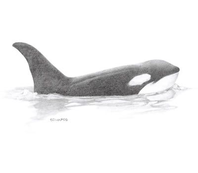 Killer Whale Drawings | Orca or Killer Whale Orcinus orca Image