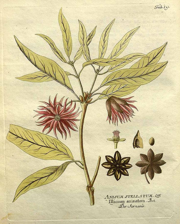 Japanese Star anise,  Illicium anisatum Gaertner,  Vietz (1800)