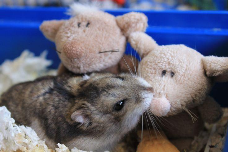 Chase #hamster #lovelyhamster