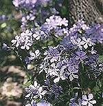 Wild Sweet William - A wild member of the phlox family.Wild Members, Wild Sweets, Gardens Courtyards, Sweets Williams, Phlox Families