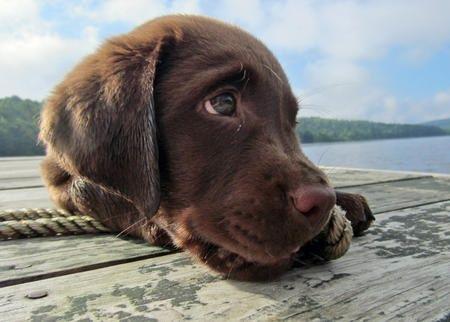 Chocolate Labrador Retriever | Chocolate lab | Cute Critters!