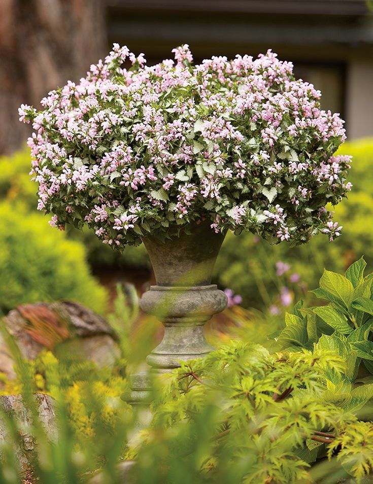 Pink Chablis Lamium is as beautiful in the landscape as it is a container. Look for soft pink blooms to continue all summer long.