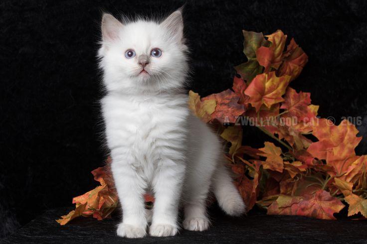 2016: Barney Rubble A Zwollywood Cat. 7 Weeks old Ragdoll kitten, lilac colourpoint. Flintstones litter.