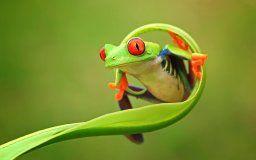 nature природа animals зеленая frog лягушка глаза лапки стебль цвет фон восточная Ява провинция Индонезии wallpaper.
