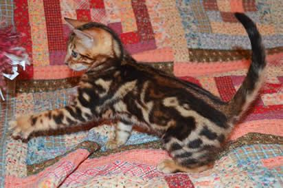 Sierra Gold Bengals is a California Breeder of Championship Quality Silver Bengal Kittens, Brown Bengal Cats, Gold Bengal Cats and Bengal Ki...