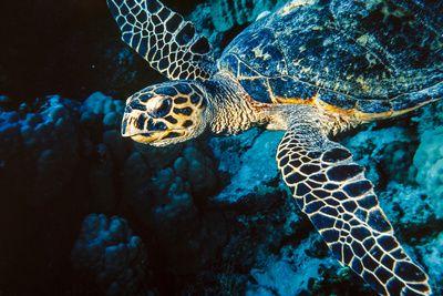 Hawksbill Sea Turtle at Panorama Reef, Red Sea, Egypt