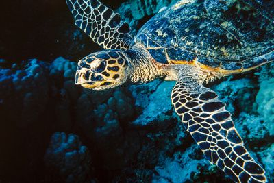 Hawksbill Sea Turtle at Panorama Reef, Red Sea, Egypt