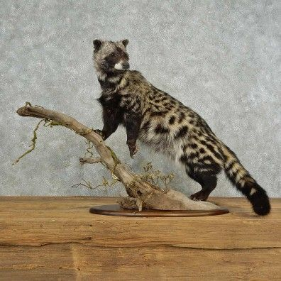 This really cool civet cat taxidermy mount is for sale @thetaxidermystore.com
