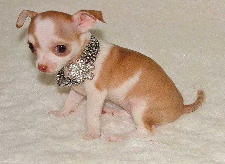 White Applehead Chihuahua Purebred Applehead Female