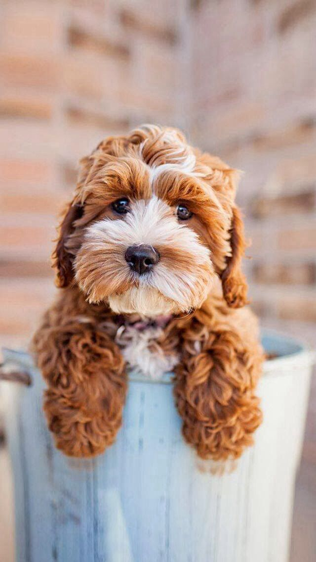 Cutest puppy, part poodle with brown and white and floppy ears. Darling!  iPhone/iPod touch HD wallpaper