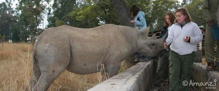 Volunteer with rhino in Africa