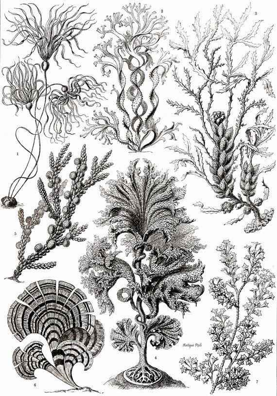 Zonaria, algae, Ernst Haeckel Scientific Illustration, printable instant download, Digital Image, High Resolution, Two (2)   JPG, no. A14