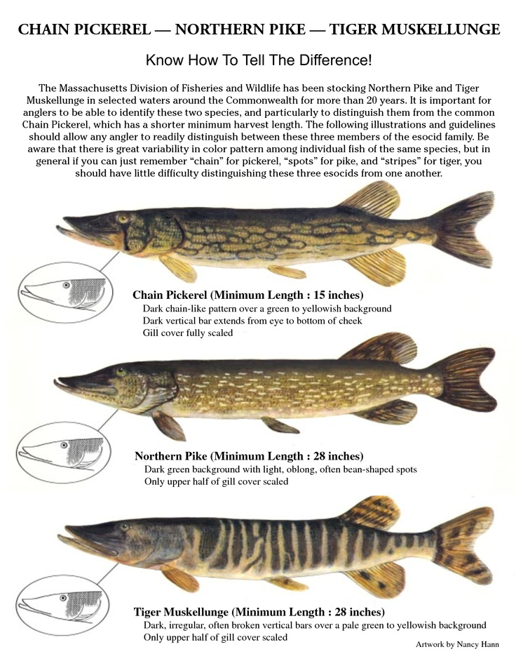 Identification poster of tiger muskie northern pike and for Pike ice fishing lures