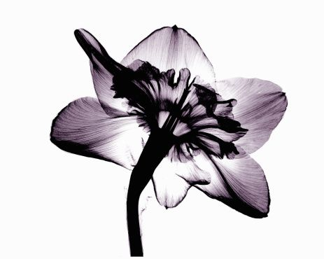 Photo : Image of daffodil flower