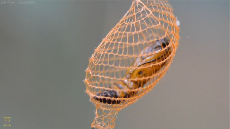 A beautiful urodid moth cocoon hangs from a leaf in the Amazon. These moths are known for having very unique lattice structures to their cocoons. The pupa is visible inside. @Lauren B