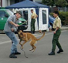 Perro belga malinois perteneciente a la policía alemana durante una demostración de guarda y defensa.
