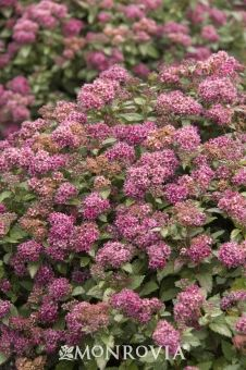 Monrovia's Lil' Flirt™ Spirea details and information. Learn more about Monrovia plants and best practices for best possible plant performance.