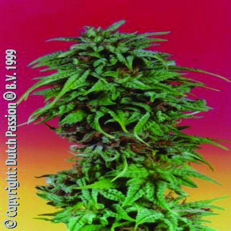 Durban - http://www.rostliny-semena.cz/cz/seminka-marihuany-konopi/Semena-Dutch-Passion-Durban-Poison-5-ks--feminized--/