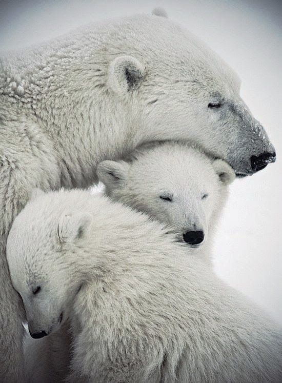 Polar bear mother love
