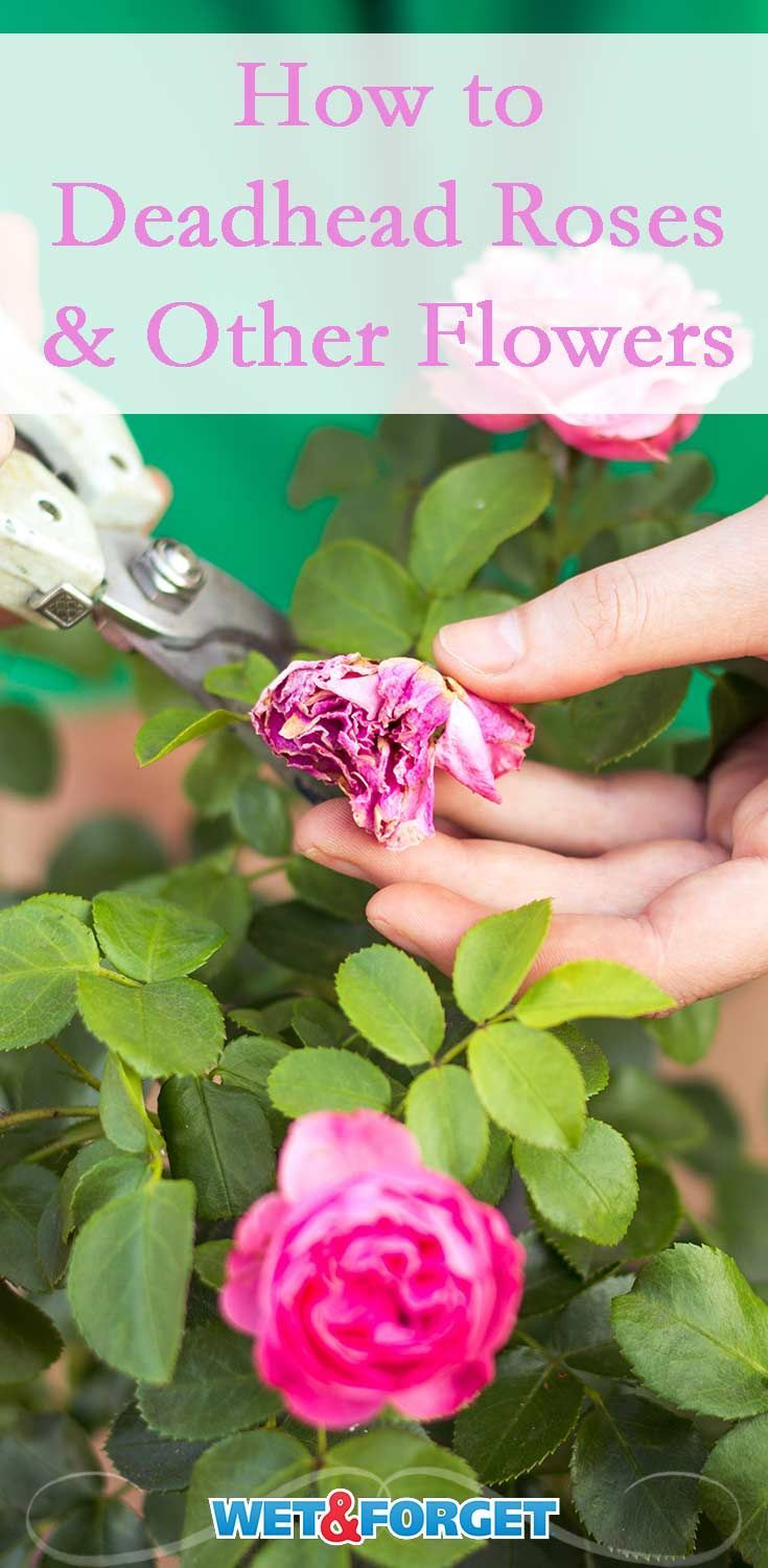 Deadheading Roses And Garden Flowers Tips And How Tos Deadheading Roses Roses Garden Care Rose Plant Care