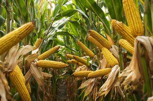 Kukorica kézi vetés