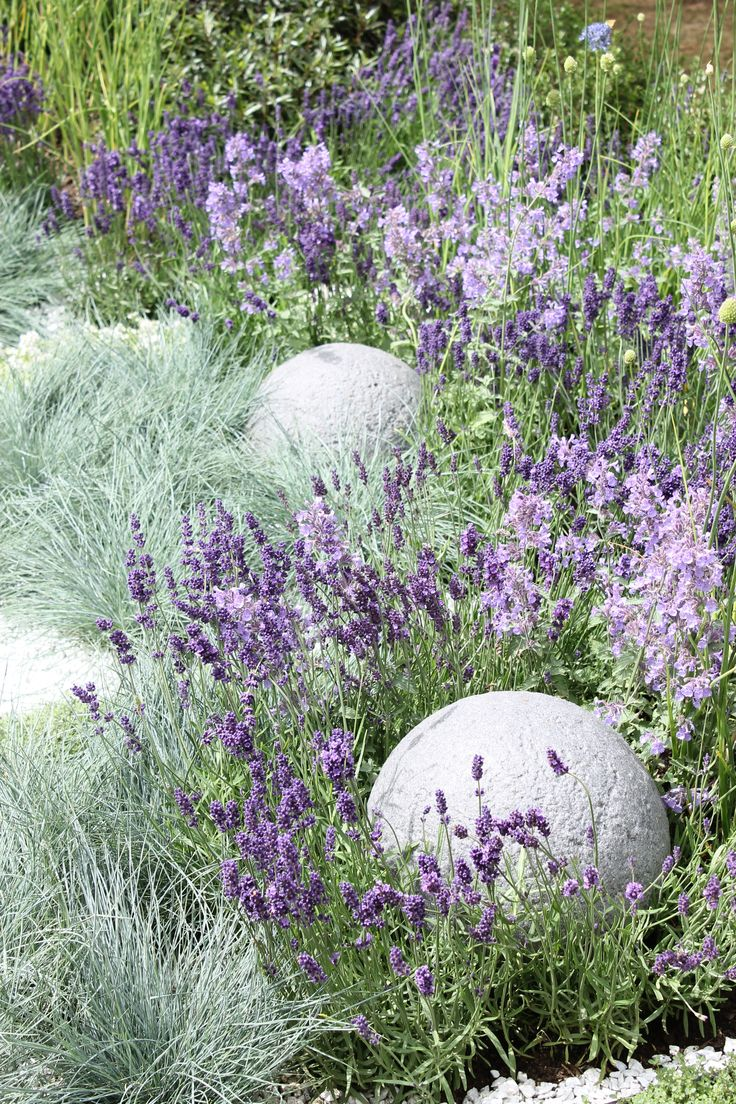 Lavender blue fescue grass rhs hampton court flower for Blue grasses for the garden