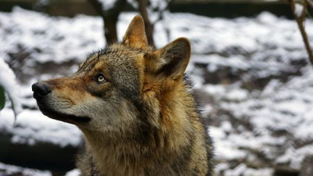 The Eurasian wolf  Photo by Fabrice Fays — National Geographic Your Shot