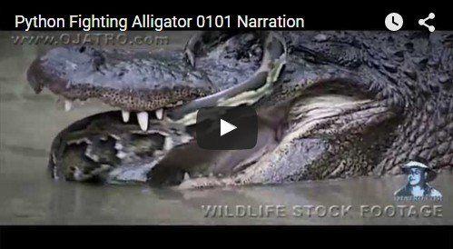 Python Fighting Alligator http://beautifulplace4travel.blogspot.kr/2015/11/python-fighting-alligator.html