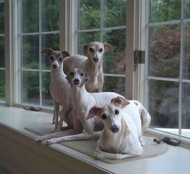 Tan dulce, una pequeña familia de galgos italianos :)