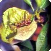 Jardin Vivero Paso Hondo Enfermedades y plagas en el jardin.  En la foto: cloca.