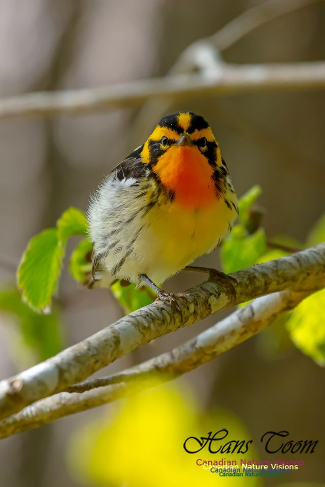 Blackburnian Warbler And American Redstart With Images Animals