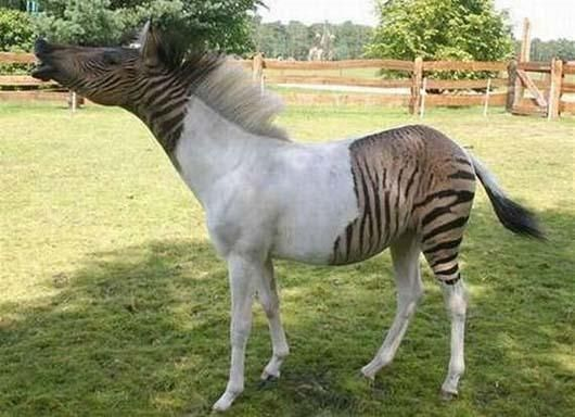 Hybrid animals: Zebroid ~ A Zebroid is a cross between a zebra and any other equine. Zebroids have been around for a long time – they were even mentioned in some of Darwin's writings. They tend to be male and to have the physiology of the non-zebra parent, with zebra stripes adorning parts of their body. Zebroids are more wild than domestic, are hard to tame, and are more aggressive than horses.