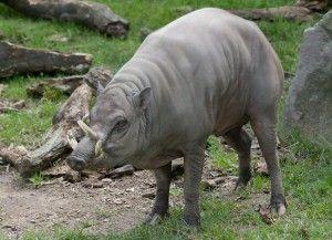 babirusa babyrousa babyrussa yang termasuk hewan langka diindonesia