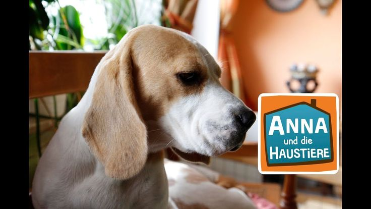 Beagle Information Fur Kinder Anna Und Die Haustiere Beaglelife Justbeagles Ilovemybeagle Beagleboy Beaglesdaily Puggle In 2020 Beagle Haustiere Hunderassen