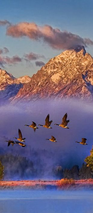 Canadian geese on flight over the Snake River in the Grand Tetons