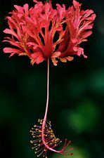 "Rare plant ""Tropical Schizopetalus Hibiscus Potted Plant Beautiful"