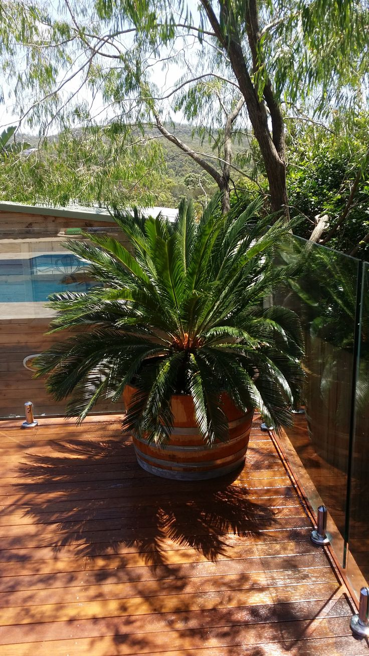Large spaces need large pots. Cycad in recycled wine barrel