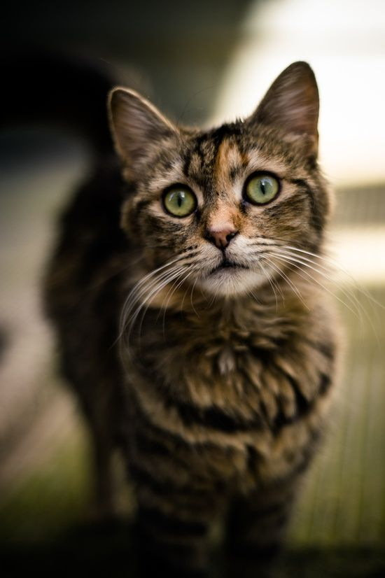 pretty brown patch tabby cat | cuties | Pinterest | Tabby ... Tabby Cat