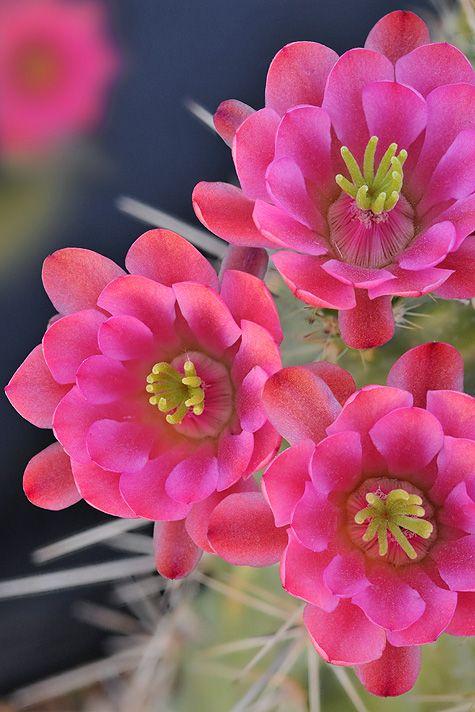 Blossoms of Claret-Cup Cactus --  Echinocereus triglochidiatus