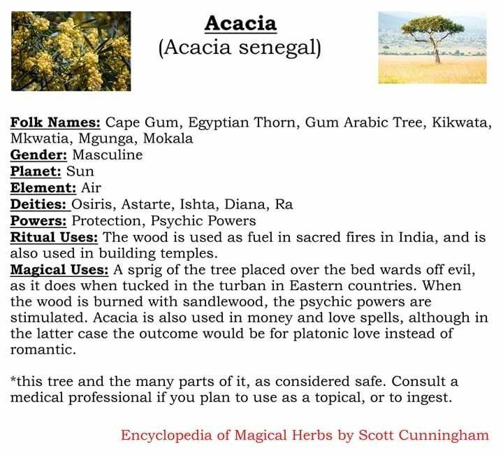 Acacia Acacia Tree Acacia Wiccan Crafts